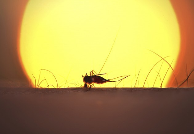 mosquito against sun